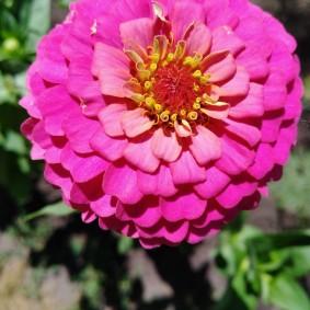 цветы цинии в саду идеи декора