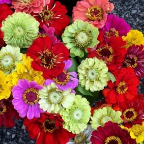 цветы цинии в саду оформление