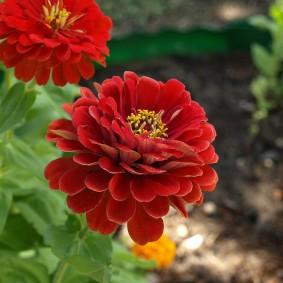 цветы цинии в саду оформление фото
