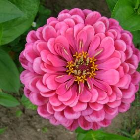 цветы цинии в саду фото оформление