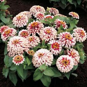 цветы цинии в саду фото оформления