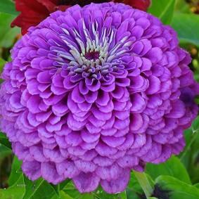 цветы цинии в саду оформление идеи