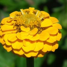 цветы цинии в саду идеи оформления