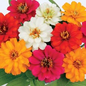 цветы цинии в саду варианты