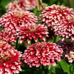 цветы цинии в саду виды идеи