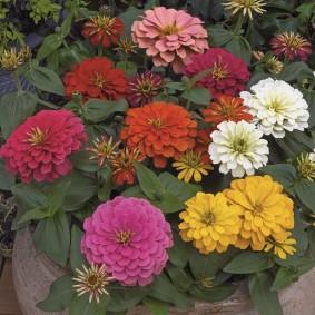 цветы цинии в саду фото варианты