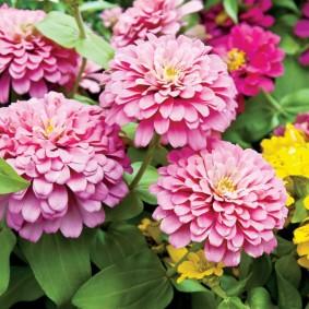 цветы цинии в саду фото вариантов