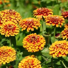 цветы цинии в саду варианты идеи