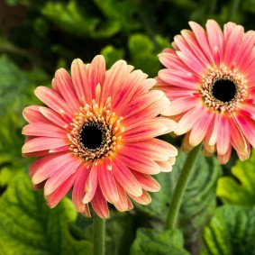 цветы цинии в саду идеи варианты