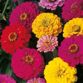 цветы цинии в саду идеи вариантов