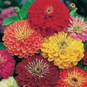 цветы цинии в саду виды