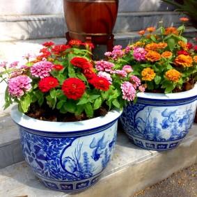 цветы цинии в саду виды фото