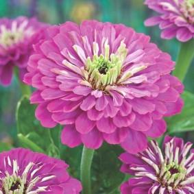 цветы цинии в саду фото виды