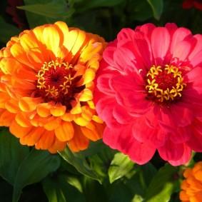 цветы цинии в саду идеи виды