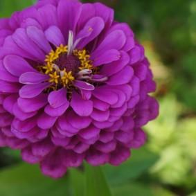 цветы цинии в саду варианты оформления