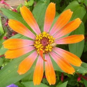 цветы цинии в саду обзор
