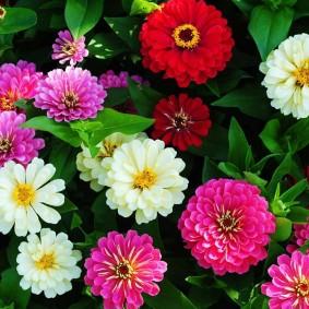 цветы цинии в саду виды дизайна