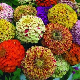 цветы цинии в саду виды декора