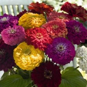 цветы цинии в саду виды оформления