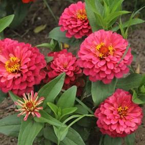 цветы цинии в саду варианты декора