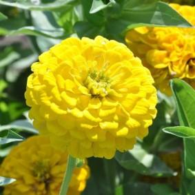 желтые цветы цинии в саду