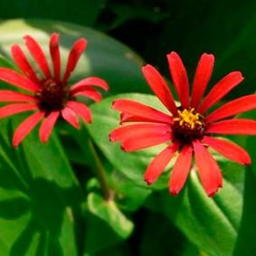 красные цветы цинии в саду