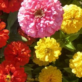 цветы цинии в саду