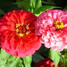 цветы цинии в саду фото