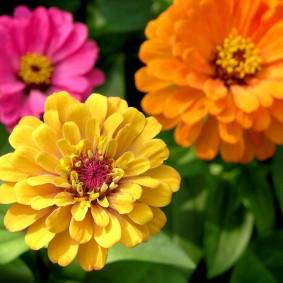 цветы цинии в саду идеи