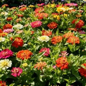 цветы цинии в саду идеи фото