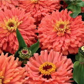 цветы цинии в саду фото идеи