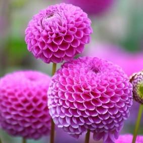 цветы для сада фото виды