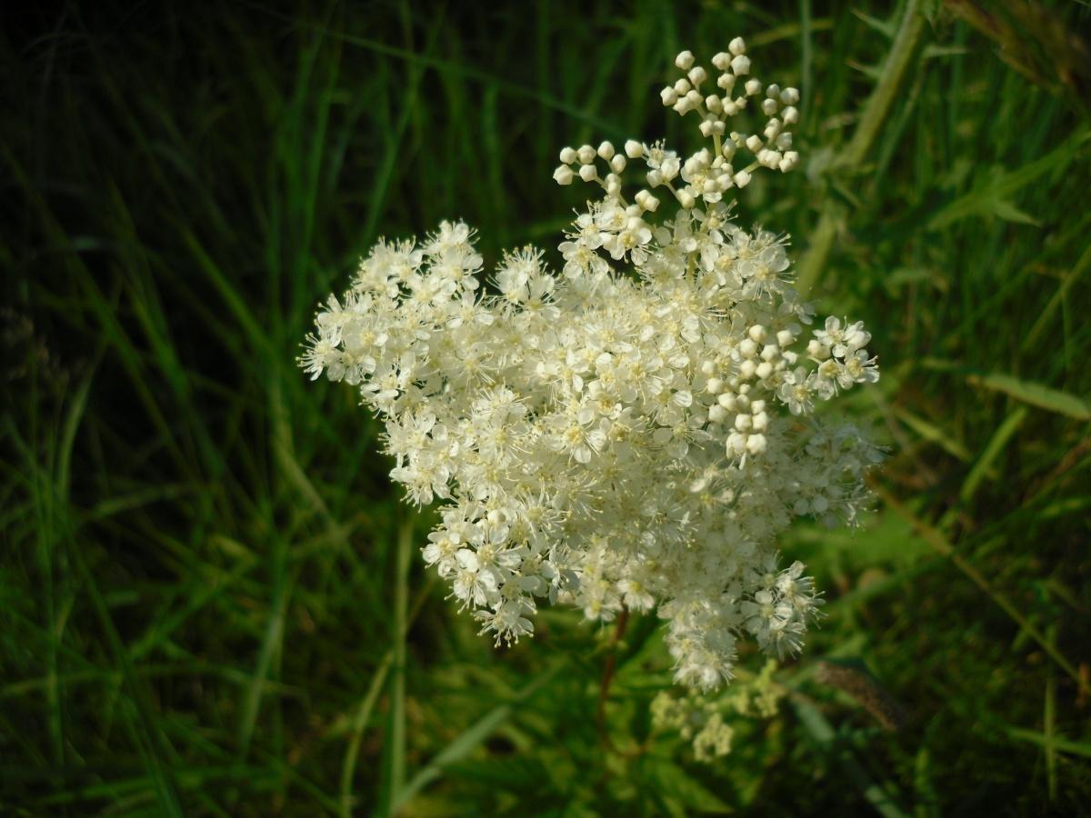 картины белые полевые цветы фото с названиями собаки пара спят