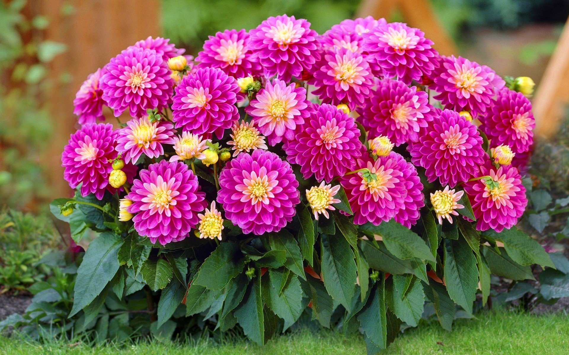 цветы для сада георгины