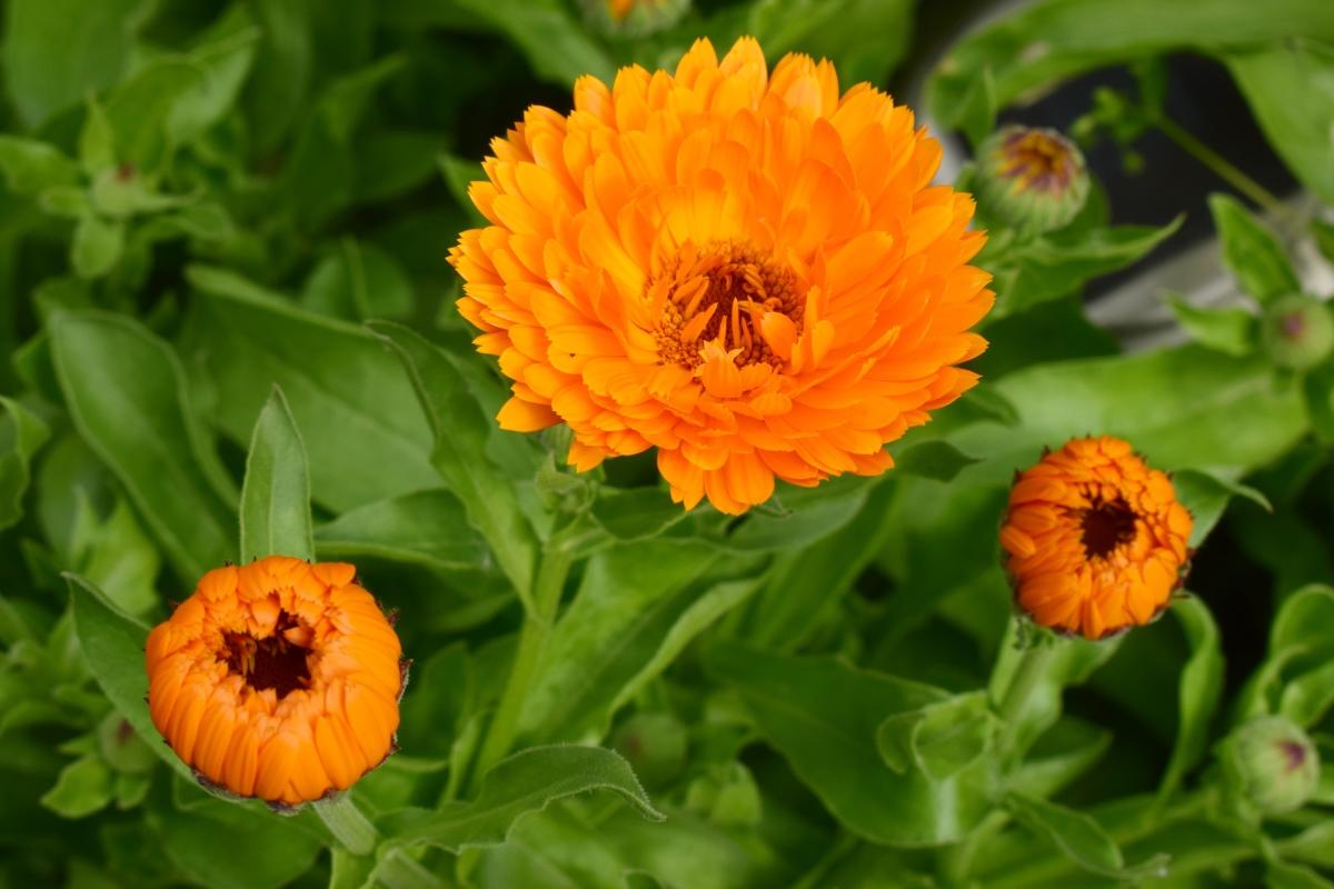 цветы для сада календула