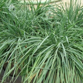 декоративная трава для сада фото