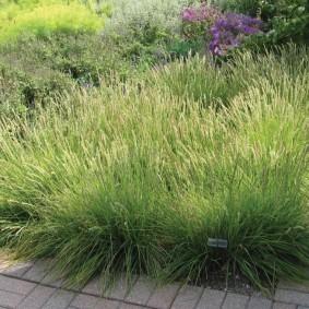 декоративная трава для сада оформление фото