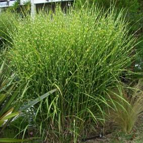 декоративная трава для сада фото оформление