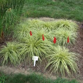 декоративная трава для сада фото оформления