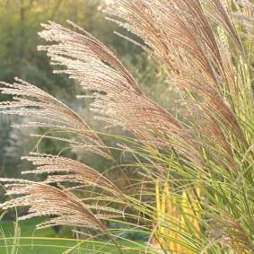 декоративная трава для сада идеи