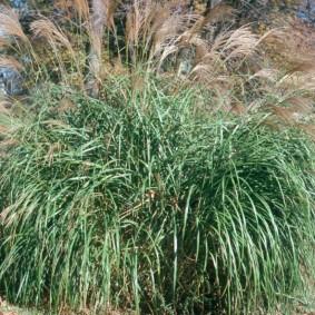 декоративная трава для сада идеи фото