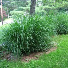 декоративная трава для сада варианты фото