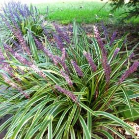 декоративная трава для сада фото варианты