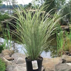 декоративная трава для сада варианты идеи