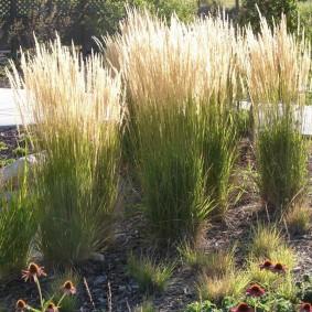 декоративная трава для сада виды фото