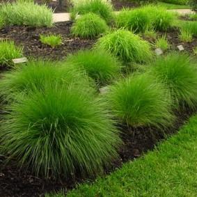 декоративная трава для сада фото виды