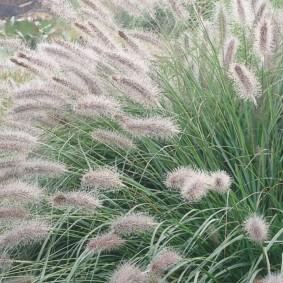 декоративная трава для сада фото идеи