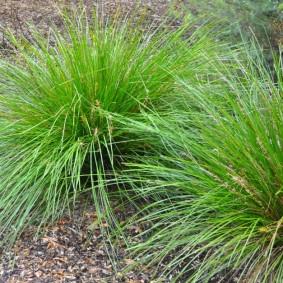 декоративная трава для сада виды идеи