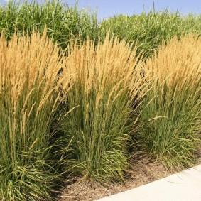 декоративная трава для сада варианты оформления