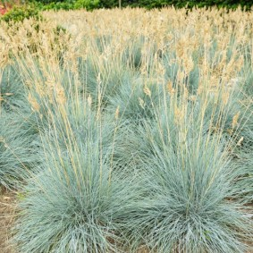 декоративная трава для сада фото дизайн